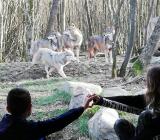 Calvyn et les loups!